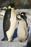 Emperor Penguins with Chick Posters by Doug Allan