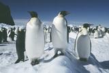 Emperor Penguins Posters by Doug Allan