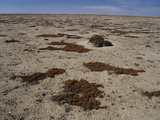 Lichen (Teloschistes Capensis) Photographic Print by Bob Gibbons