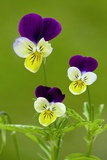 Wild Pansy (Viola Tricolor) Photographic Print by Bob Gibbons