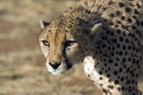 Cheetah Photographic Print by Bob Gibbons