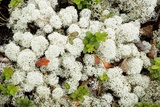 Lichen (Cladonia Stellaris) Photographic Print by Bob Gibbons