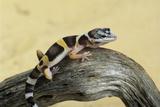 Leopard Gecko Fotodruck von David Aubrey