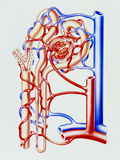 Artwork of Kidney Nephron with Blood Vessels Photographic Print by John Bavosi