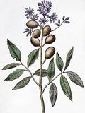 Guarana Plant (Paullina Cupana), Artwork Photographic Print by CCI Archives