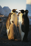 Emperor Penguins with Chick Prints by Doug Allan