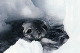Weddell Seal Prints by Doug Allan