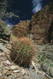Barrel Cactus Photographic Print by Doug Allan