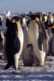 Emperor Penguins And Chicks Photo by Doug Allan