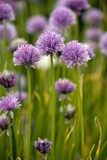 Chives, In Flower (Allium Schoenoprasum) Photographic Print by Bob Gibbons