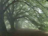 Ancient Beech Woodland Photographic Print by Adrian Bicker