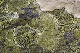 Map Lichen (Rhizocarpon Geographicum) Posters by Bob Gibbons