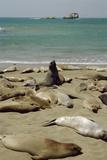 Northern Elephant Seals Reprodukcja zdjęcia autor Diccon Alexander