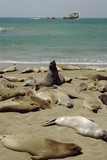 Northern Elephant Seals Photographic Print by Diccon Alexander