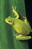 Green Tree Frog Poster by David Aubrey