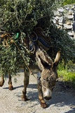 Donkey Carrying Olive Branches Póster por Bob Gibbons