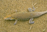 Sand-diver Lizard Prints by Bob Gibbons