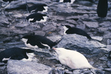 Albino Chinstrap Penguin Prints by Doug Allan