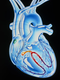 Illustration of Electrical Conduction In the Heart Posters by John Bavosi