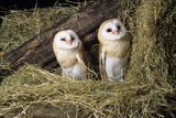 Barn Owls Photographic Print by David Aubrey