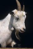 Goat Photographic Print by David Aubrey