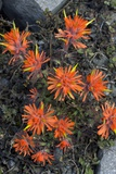 Cliff Paintbrush (Castilleja Rupicola) Posters by Bob Gibbons
