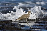 Willet Prints by Bob Gibbons