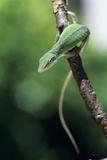 Green Anole Fotodruck von David Aubrey