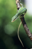 Green Anole Photographic Print by David Aubrey