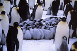 Emperor Penguin Chicks Huddling Photographic Print by Doug Allan