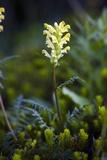 Bracted Lousewort (Pedicularis Bracteosa) Photographic Print by Bob Gibbons