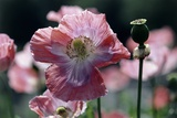 Opium Poppies (Papaver Somniferum) Photographic Print by Vaughan Fleming