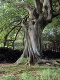 Twisted Beech Tree (Fagus Sp.) Photographic Print by Martin Bond