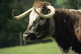 English Longhorn Cow Photographic Print by David Aubrey