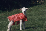 Lamb Posters by David Aubrey