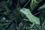 Plumed Basilisk Photographic Print by David Aubrey