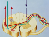 Artwork Showing Pain Pathways In Spinal Cord Poster by John Bavosi