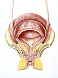 Artwork of Section Through the Female Bladder Photographic Print by John Bavosi