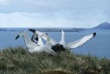 Wandering Albatrosses Prints by Doug Allan