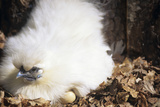 Bantam Chicken And Egg Photographic Print by David Aubrey
