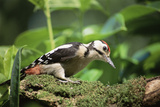 Great Spotted Woodpecker Photographic Print by David Aubrey