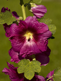 Wild Hollyhock (Alcea Rosa) Photographic Print by Bob Gibbons