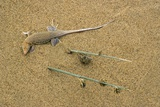 Sand-diver Lizard Papier Photo par Bob Gibbons