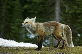 Cascade Red Fox Photo by Bob Gibbons