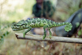 Socotra Chameleon Print by Diccon Alexander