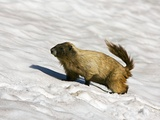 Hoary Marmot In the Snow Photographic Print by Bob Gibbons