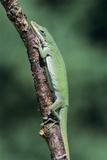 Green Anole Lizard Papier Photo par David Aubrey