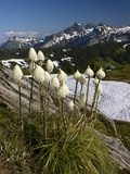 Bear Grass (Xerophyllum Tenax) Photographic Print by Bob Gibbons