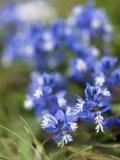 Chalk Milkwort (Polygala Calcarea) Photographic Print by Adrian Bicker