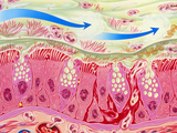 Artwork of Inflamed Bronchial Epithelium In Asthma Prints by John Bavosi